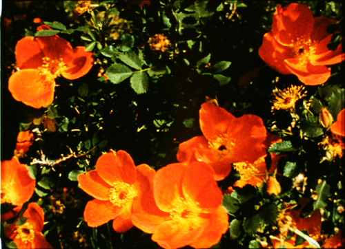 Marie Menken - ullada al jardí